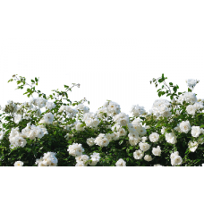 Розы плетистые: посадка и уход