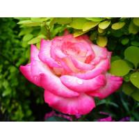 Роза Арифа (флорибунда)