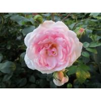 Роза Моден Блаш (канадская)
