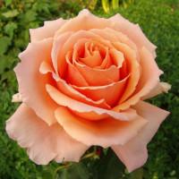 Роза Примадонна(чайно-гибридная)