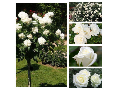 """Комплект """"Гармония"""" (Штамбовая роза Аннапюрна, Полиантовая роза Диадэм Уайт, Плетистая роза Айсберг Клаймбинг, Чайно-гибридная роза Акито, Чайно-гибридная роза Клер океан )"""