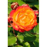 Роза Румба (штамбовая)