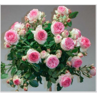 Роза Эден Роуз (штамбовая)