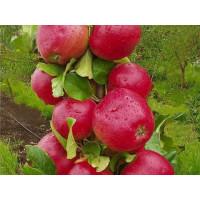 Яблоня колоновидная Арбат