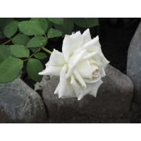 Роза Маунт Шаста(чайно-гибридная)