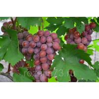 Виноград Сиреневый Туман (Ранний/Розовый)