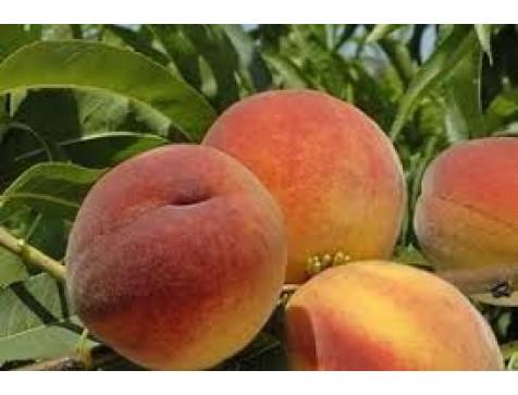 Персик Фиделия