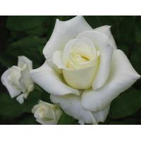 Роза Атена(чайно-гибридная)