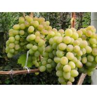 Виноград Ланселот - Кишмиш (Средний/Белый)