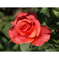Роза Спутник(чайно-гибридная)