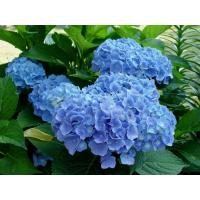 Гортензия Сleopatra Blue (крупнолистная)