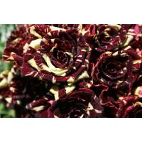 Роза Тигровая (плетистая)
