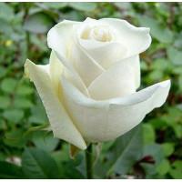 Роза Боинг(чайно-гибридная)