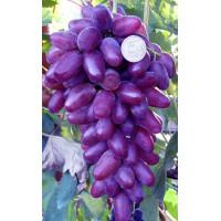 Виноград Ромео - Кишмиш (Поздний/Фиолетовый)