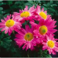 Хризантема Мальчиш - Кибальчиш (Среднецветковая/Розовая)