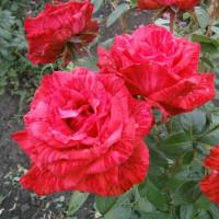 Роза Ред Интуишн(чайно-гибридная)