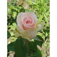 Роза Вивальди(чайно-гибридная)
