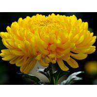 Хризантема Мираж (Крупноцветковая/Желтая)