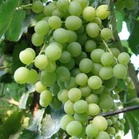 Виноград Кристалл (Ранний/Белый)