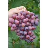 Виноград Лада (Ранний/Розовый)