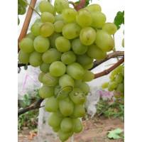 Виноград Подарок Запорожью (Средний/Белый)