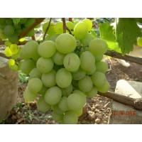 Виноград Талисман (Поздний/Белый)