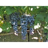 Виноград Страшенский (Средний/Черный)
