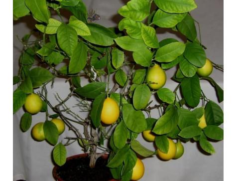 Лимон Павловский (До 10 см)