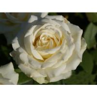 Роза Анастасия(чайно-гибридная)