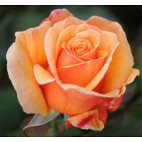 Роза Voodoo-Вуду(чайно-гибридная)