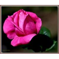 Роза Джакоранда(чайно-гибридная)
